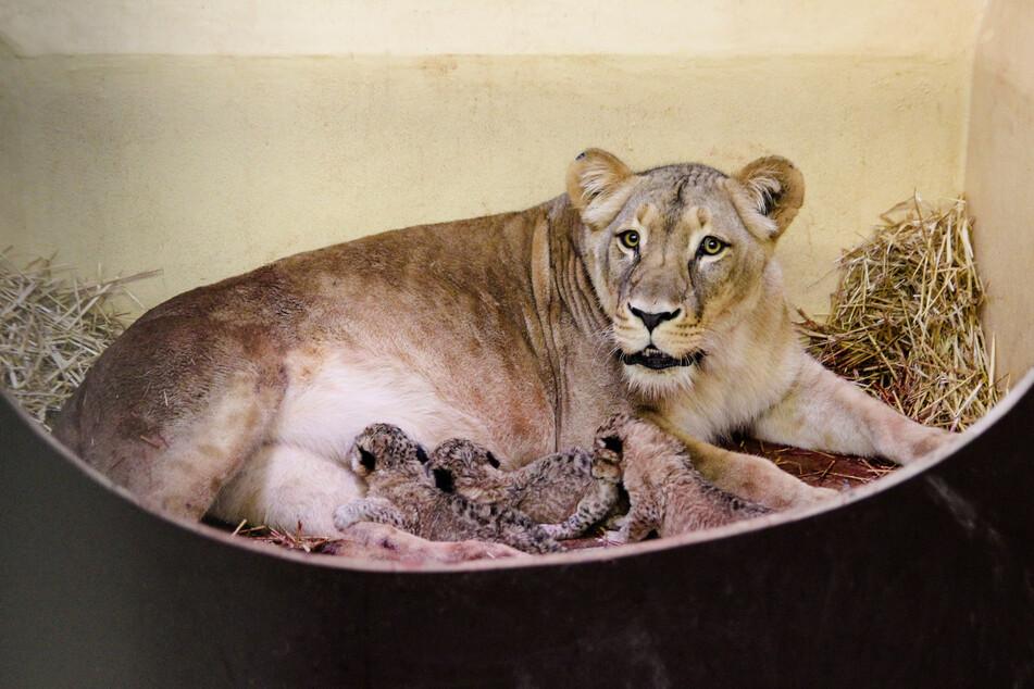 Löwenmama Bastet und die drei kleinen Welpen.