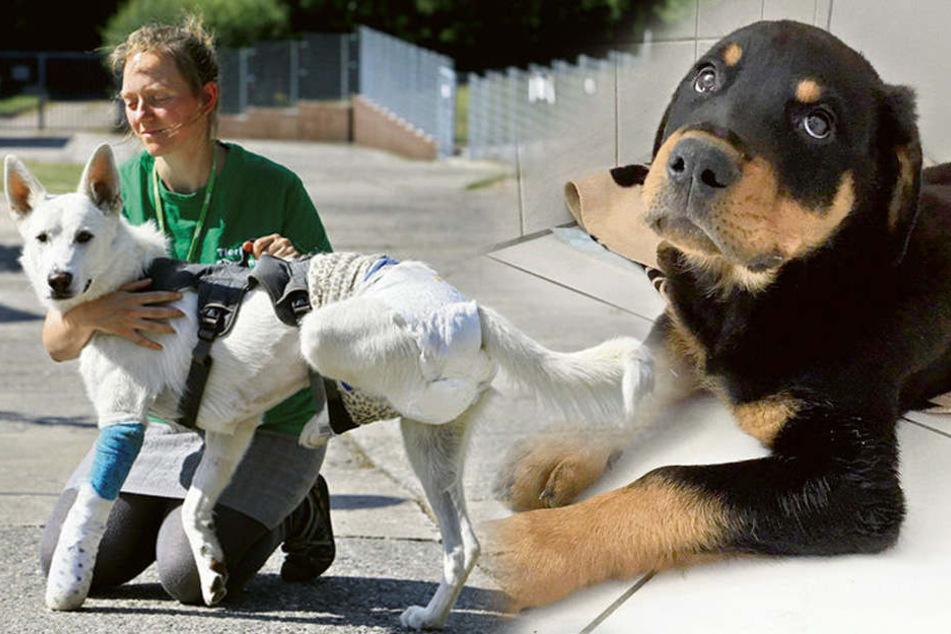 OP zu teuer: Schwer kranker Welpe ins Tierheim abgeschoben