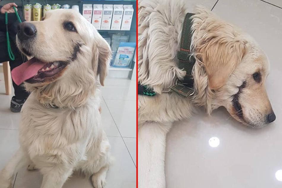 Wie beim Joker: Tierquäler schneiden Hund den Mund auf und setzen ihn zum Sterben aus