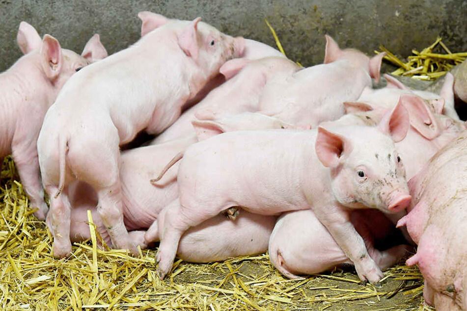 400 Ferkel sind auf einem Bauernhof bei Osnabrück qualvoll verhungert. (Symbolbild)