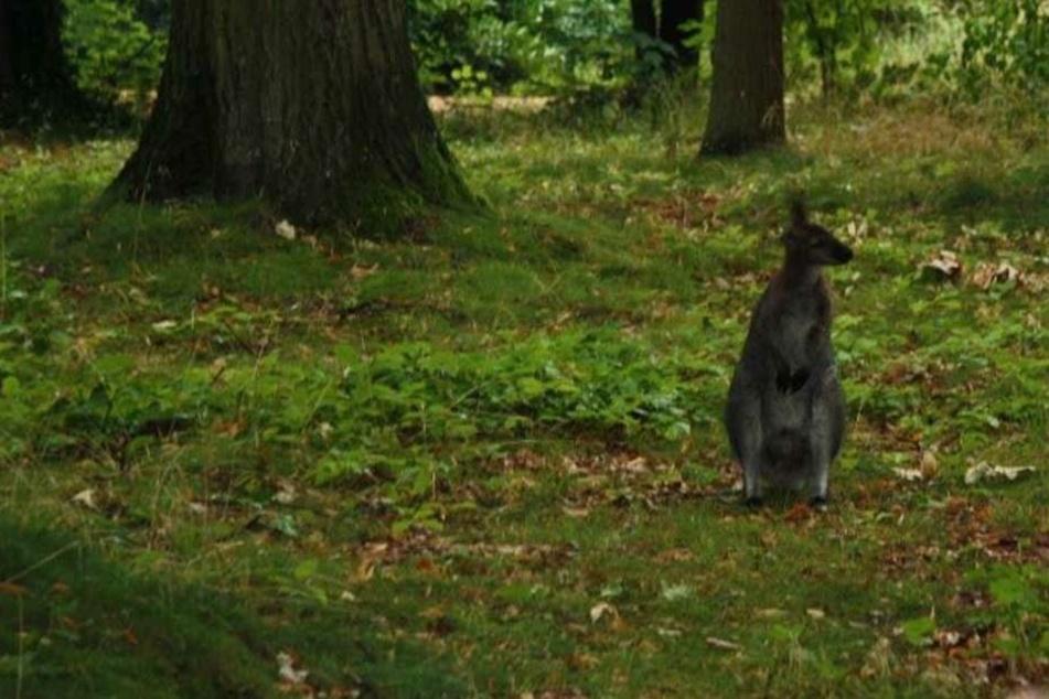 Känguru im Park entdeckt: Wer vermisst seinen Zweibeiner?