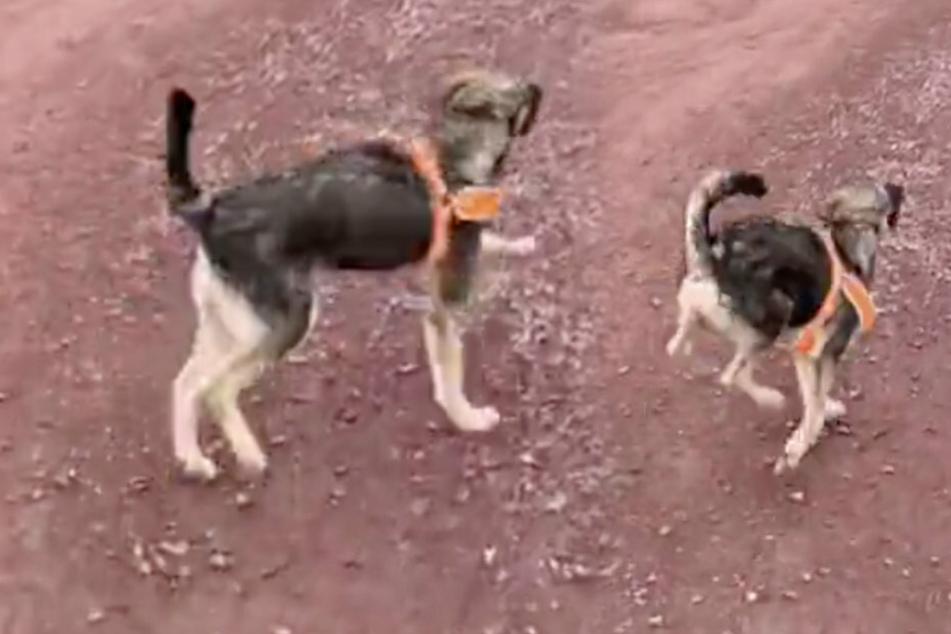 Hund läuft total komisch, doch dahinter steckt ein trauriger Grund