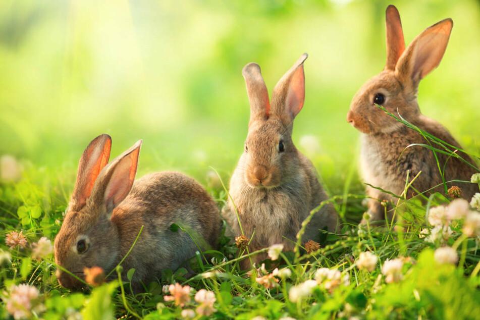 In der Nacht zu Sonntag haben dreiste Diebe eine Woche vor Ostern vier Hasen aus dem Tierpark in Finsterwalde gestohlen. (Symbolfoto)