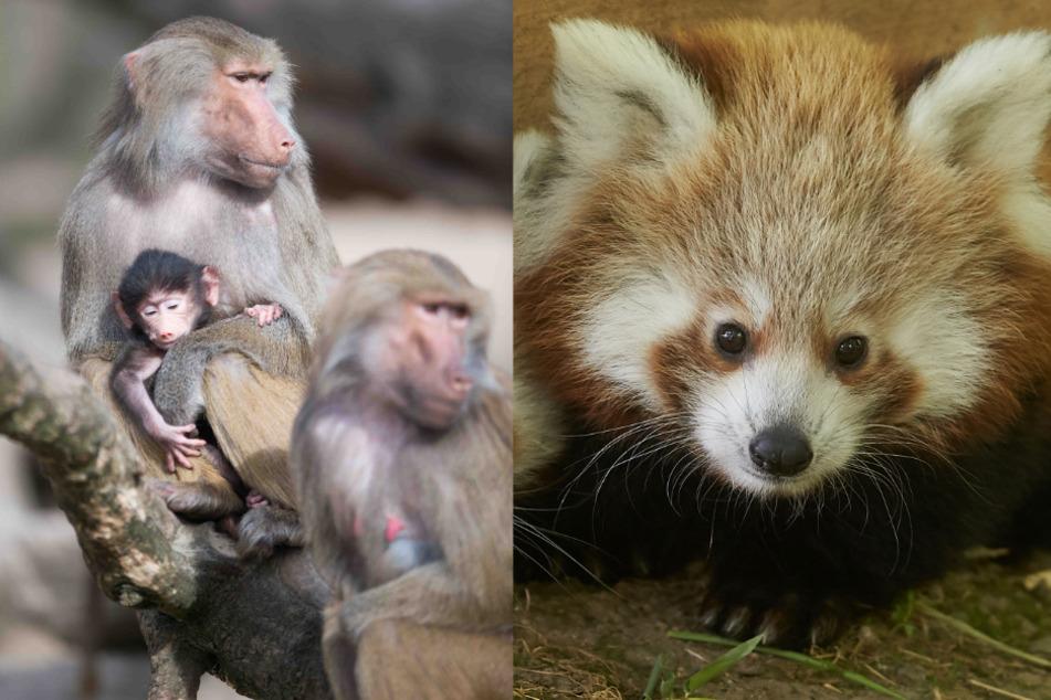Langeweile bei Tieren: So lähmt die Corona-Krise Deutschlands Zoos