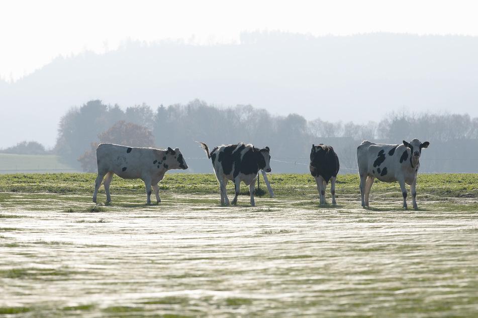 Kühe stehen in Georgsmarienhütte auf einer Weide.