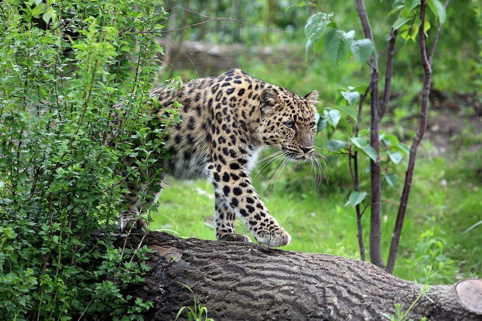 Amurleoparden gehören zu den seltensten Katzen weltweit – sie sind vom Aussterben bedroht.