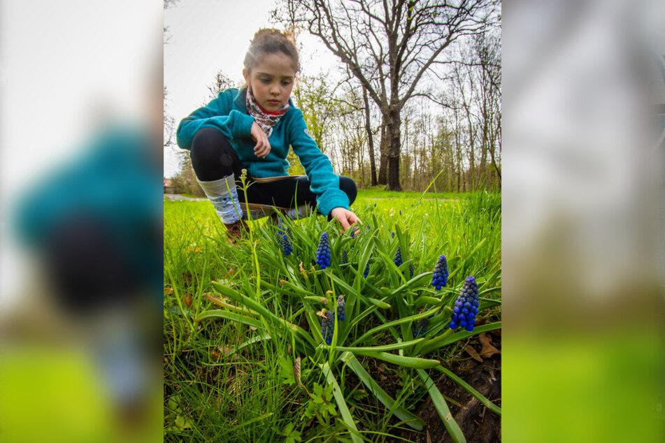 Amina (9) hat beim Stecken der Blumenzwiebeln geholfen. Jetzt freut sich über die ersten Blüten der Traubenhyazinthen.