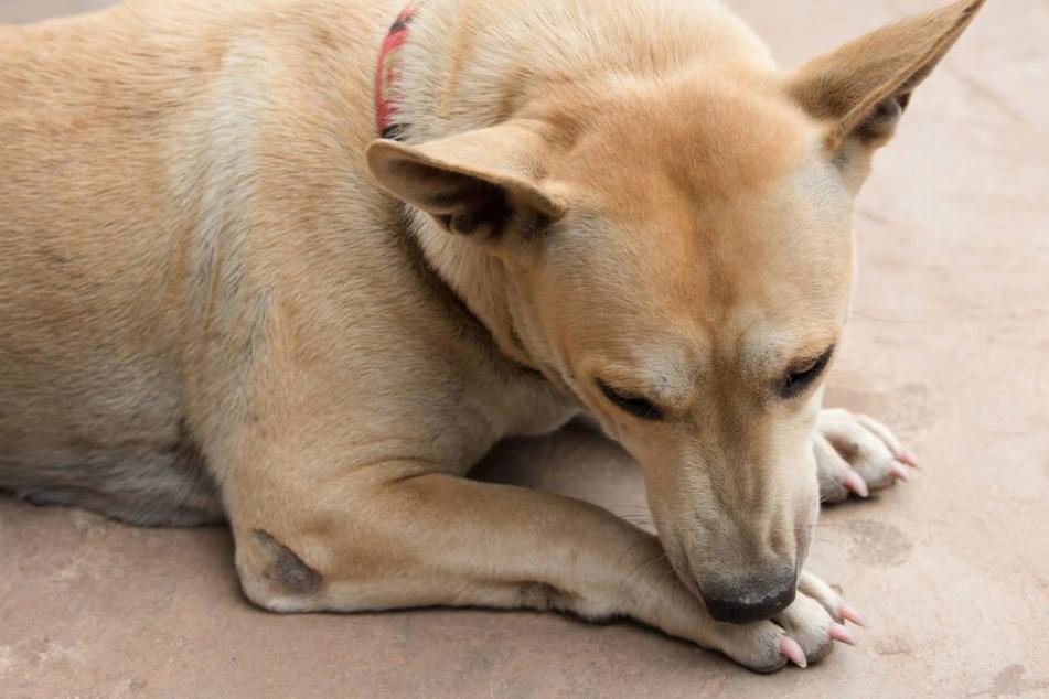 Hund leckt Pfoten: Was ist daran so gefährlich?