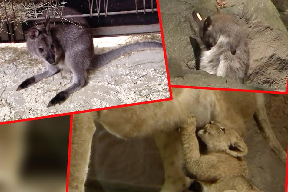 Elefant, Tiger & Co.: Känguru-Kind meckert über seinen Namen, All-Inclusive für Löwenbabys