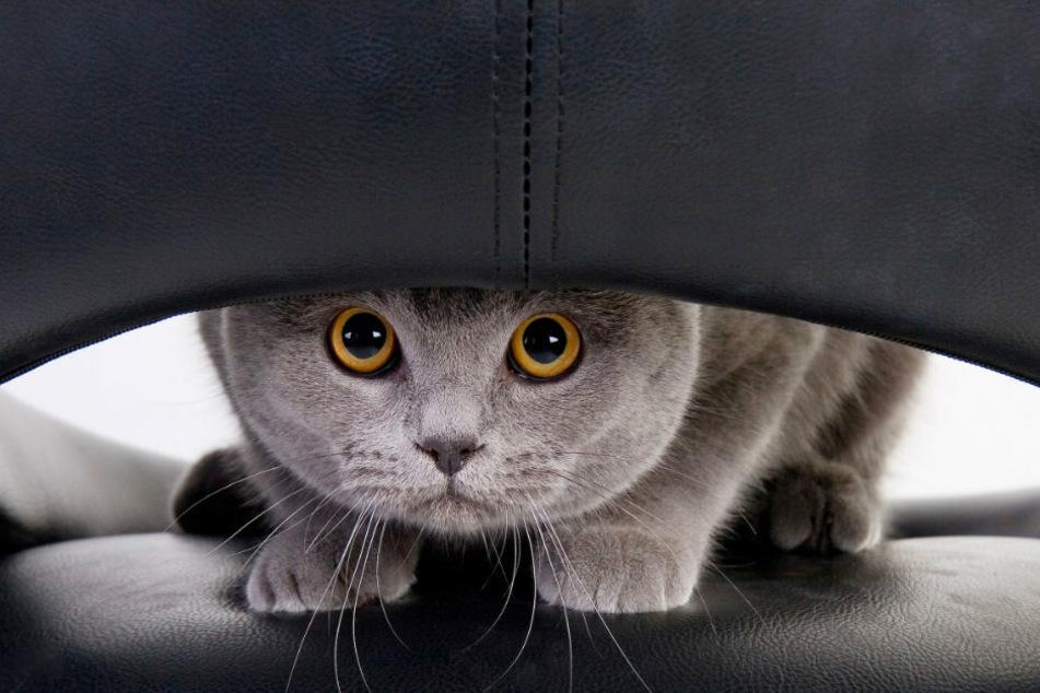 Ob Leder oder Stoff: Katzen sind neugierig und testen ihre Krallen gerne aus.