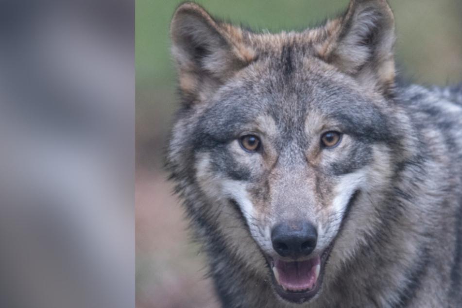 Neuer Problemwolf geht im Norden auf die Jagd