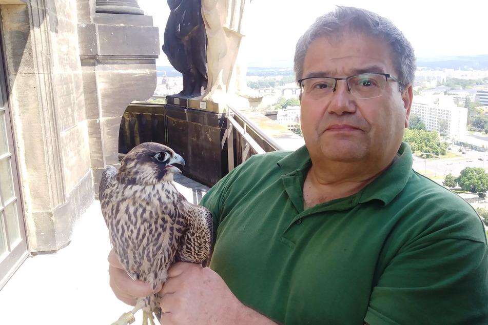 Nach einer Woche Pflege konnte Vogelretter Steffen Keller (62) den Jungfalken wieder auf dem Rathausturm aussetzen.
