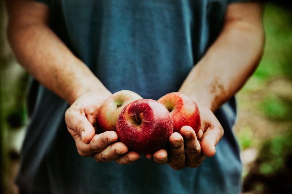 Es geht doch nichts über einen frischgepflückten Apfel.