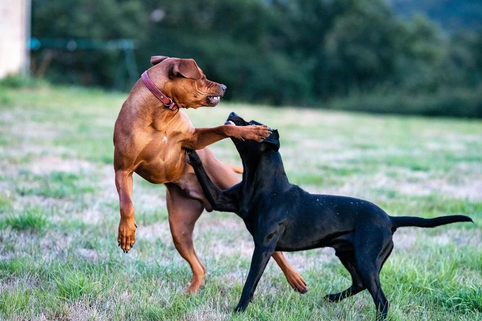 Dominanz bei Hunden ist von der Situation und der Beziehung zum Gegenüber abhängig.