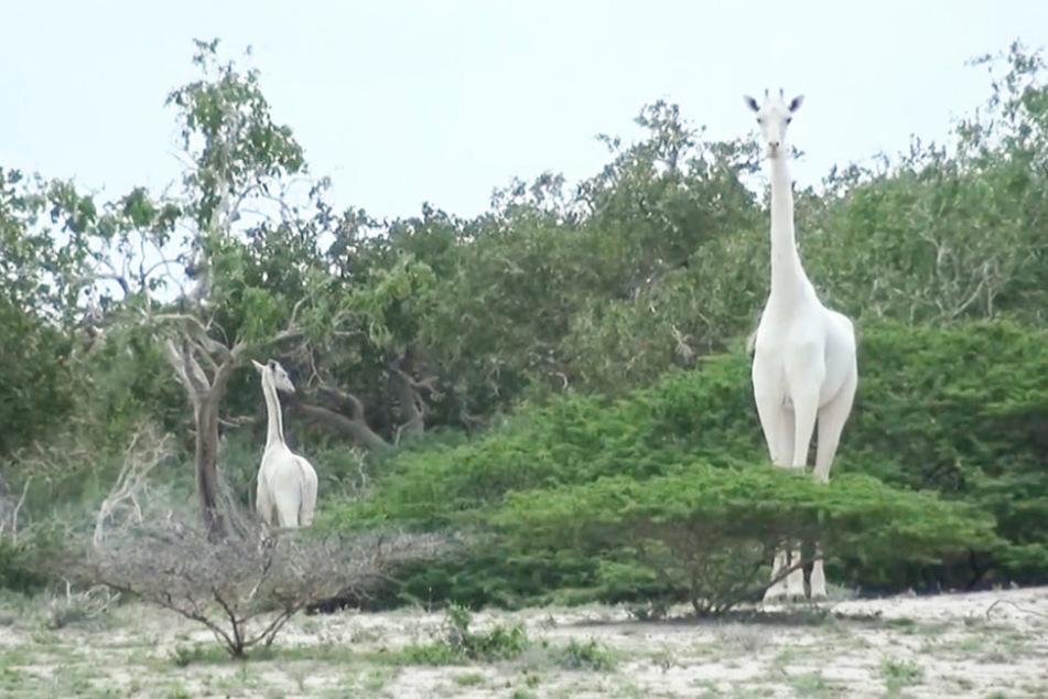 Die Giraffenmutter und ihr Junges sind mutmaßlich von Wilderern getötet worden. Die Skelette der zwei Tiere seien am 10 .März 2020 in Wildtierreservat Ishaqbini Hirola im Osten Kenias gefunden worden.