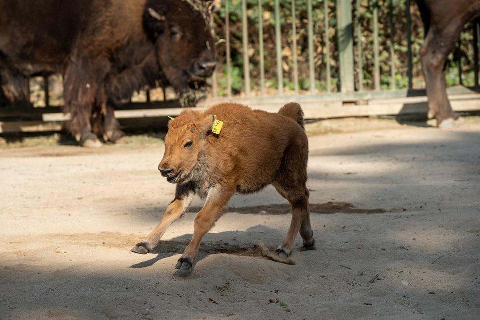 Der Kölner Zoo freut sich über Familienzuwachs im Bison-Gehege - Winni kam im September zur Welt.