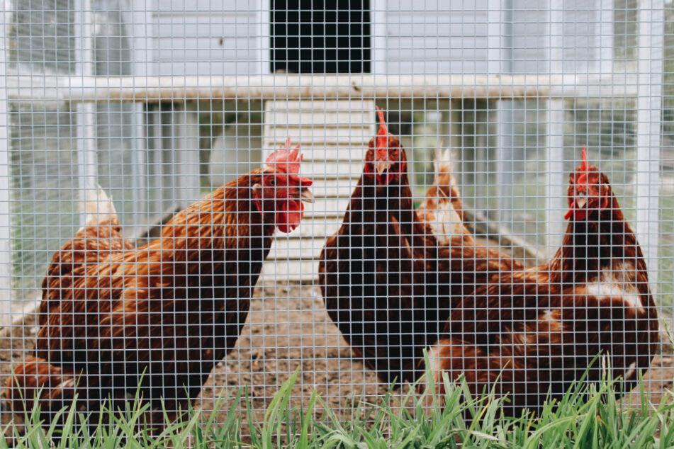 Vogelgrippe breitet sich aus: Ab dann gilt in Hamburg Stallpflicht