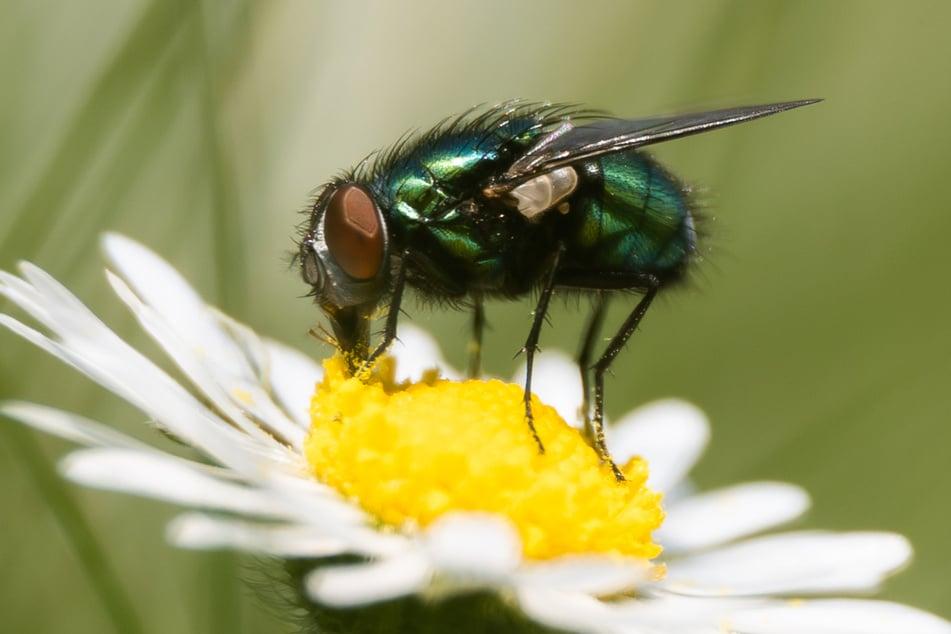 Normalerweise sind Fliegen harmlos, nun hat aber eines der kleinen Tierchen in Frankreich für eine Explosion gesorgt. (Symbolbild)