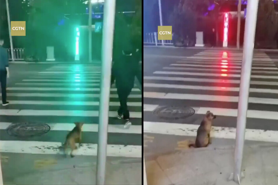 Even though this dog is a stray, it knows when it's safe to cross the road.