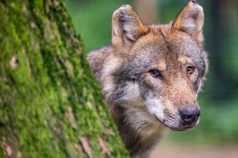 Ein Wolf in einem Wildpark. (Archivbild)