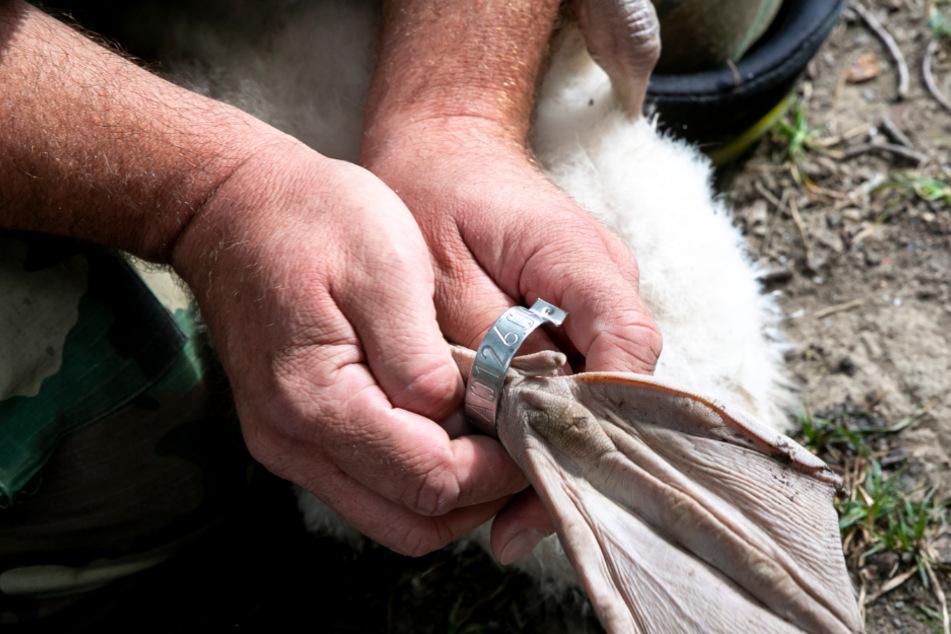Mein lieber Schwan! Zaungäste dürfen eines der Jungtiere streicheln.