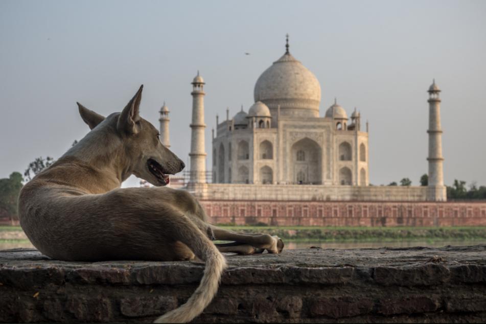 Ein wilder Hund vor dem Taj Mahal in Agra, Uttar Pradesh.
