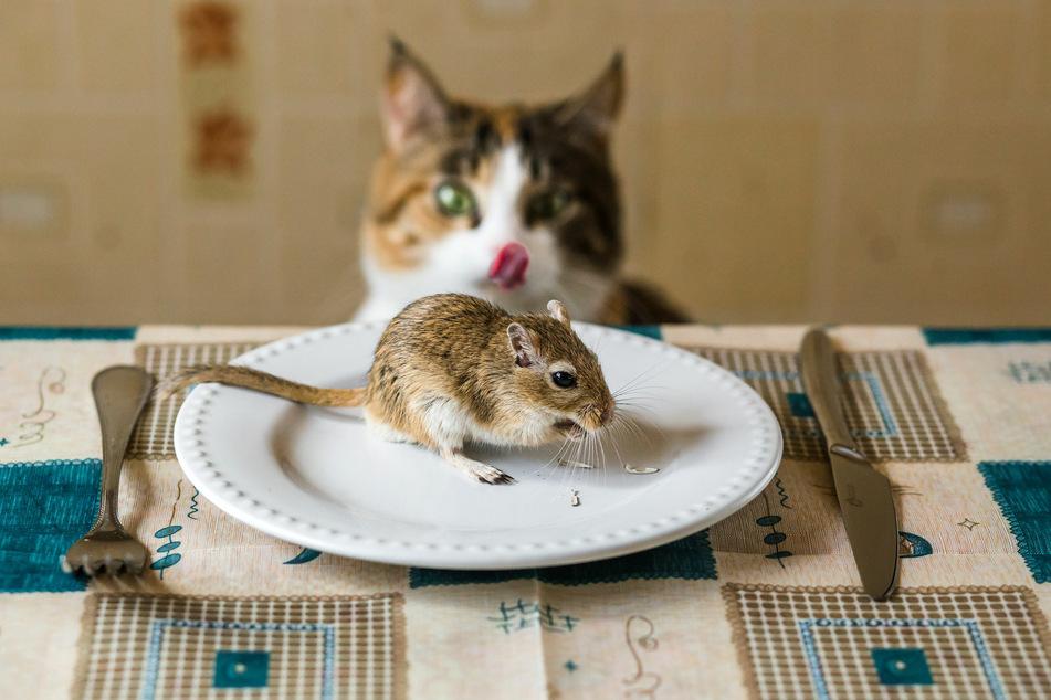 Freudig schleckt sich die Katze das Schnäuzchen beim Anblick der Maus.