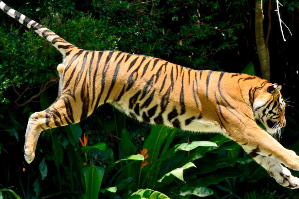 From the jaws of death: video shows man being chased by Bengal tiger