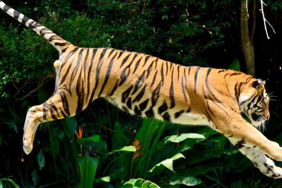 Mann wird von Tiger verfolgt: Dann trifft er eine mutige Entscheidung