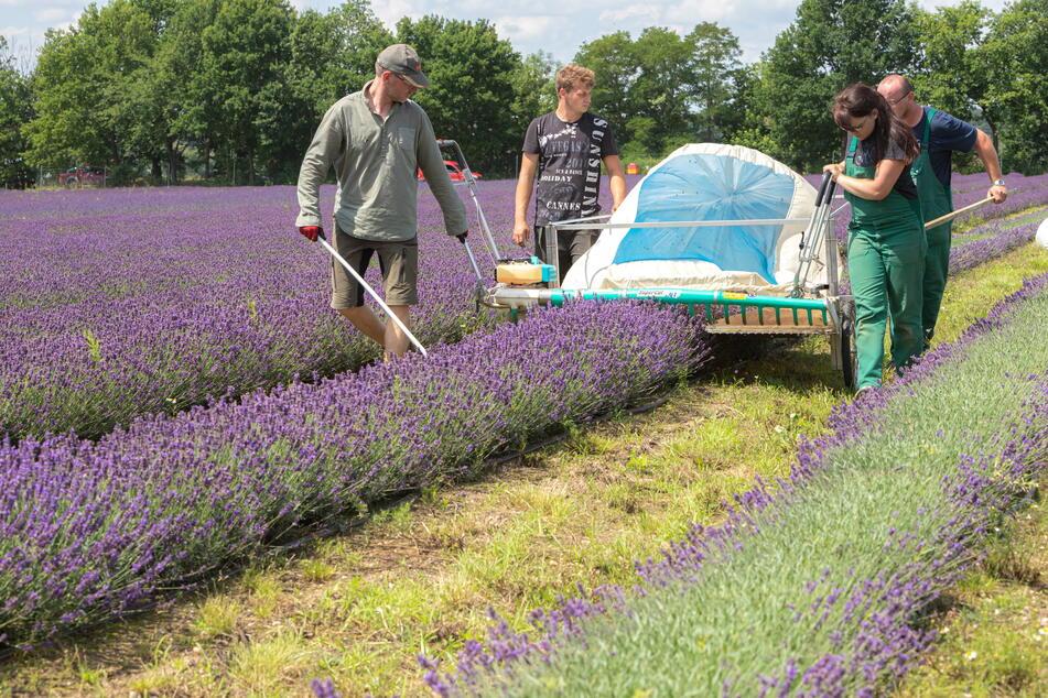 Pfiffig: Lavendelernte mit selbstgebauter Apparatur in See bei Niesky.