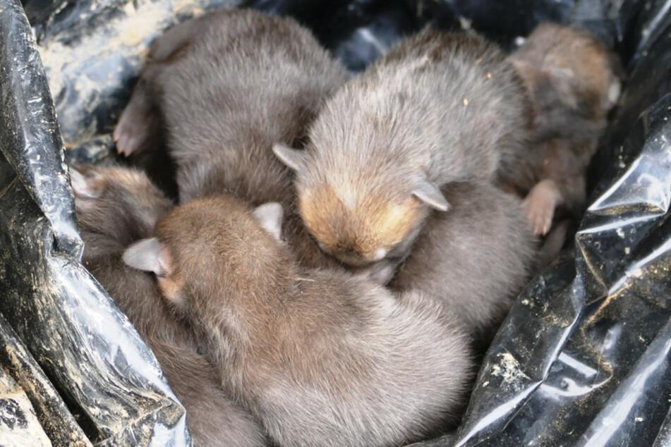 Wie grausam: Acht Fuchswelpen aus Bau gestohlen, damit sie verhungern!