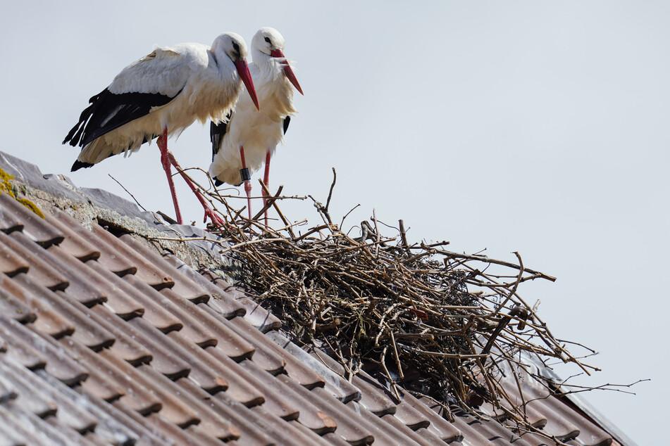 Die stetig wachsende Zahl der in NRW nistenden Weißstörche freut die Vogelschützer. (Archivbild)
