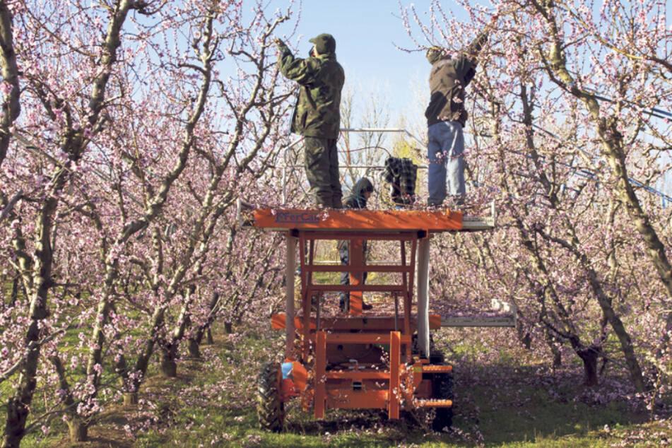 Der Elwobot (kurz für Elektrisch betriebener Wein- und Obstbau-Roboter) soll Routinearbeiten in Plantagen wie Bäume schneiden einmal übernehmen.