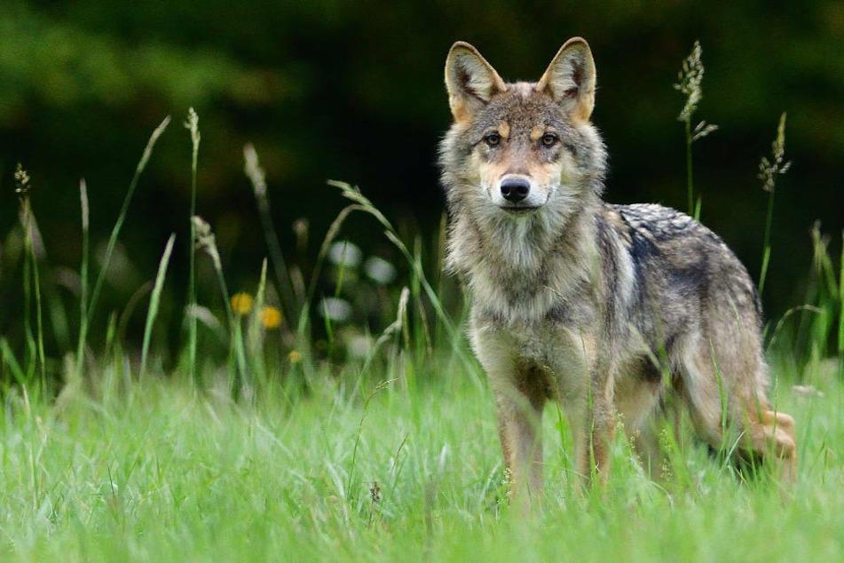 Am Sonntag wurde ein Wolf im mecklenburgischen Dudendorf von einer Erntemaschine erfasst und schwer verletzt. (Symbolfoto)