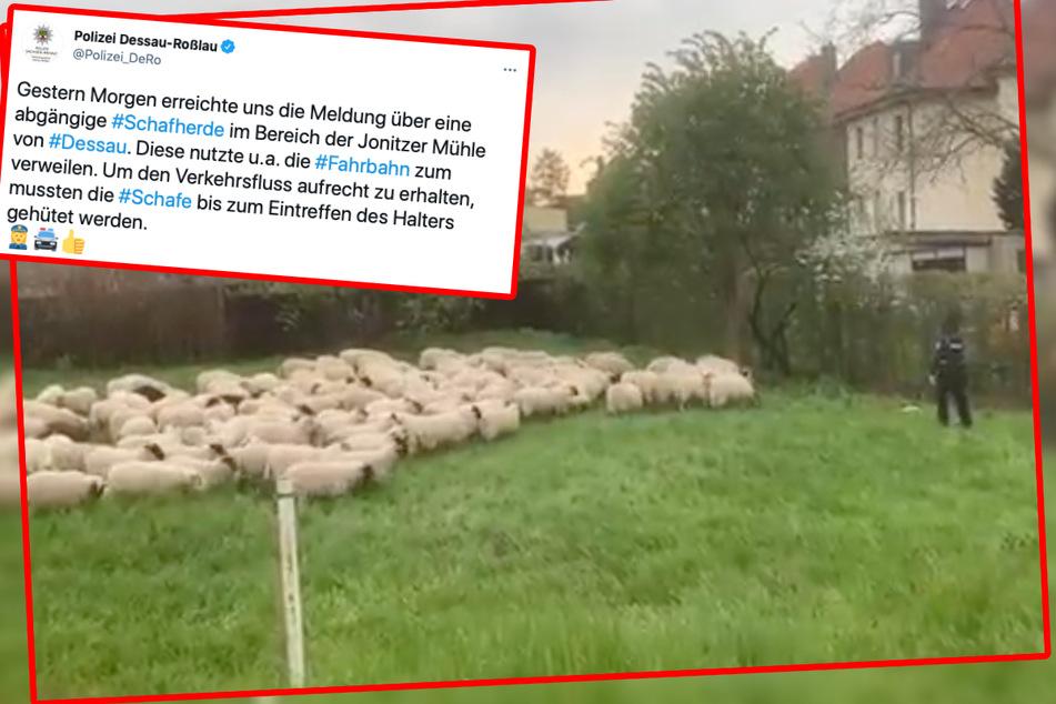 Aufnahme aus dem Video: Nachdem die Schafe von der Straße getrieben worden waren, mussten die Beamten sie noch bis zum Eintreffen des Halters behüten.