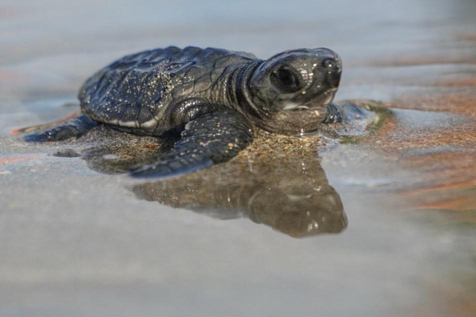 Frau findet kleine Schildkröte auf großer Reise