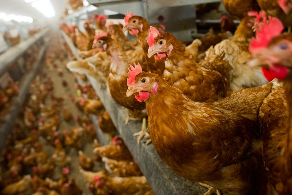 Geflügelfleisch ist die bedeutendste Infektionsquelle mit Campylobacter-Bakterien.