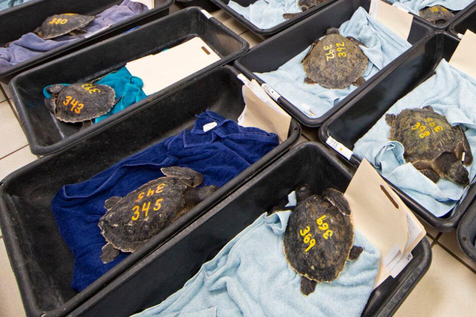 Schildkröten droht der Kältetod: Die Rettung kommt in letzter Sekunde