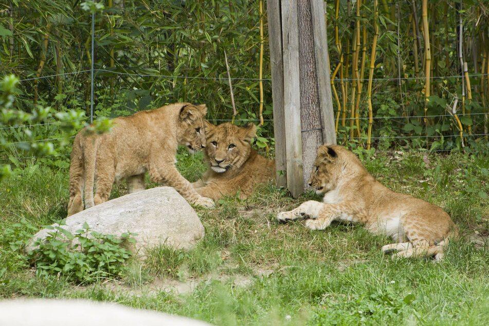 Die drei kleinen Löwen warten noch auf ihre Namen.