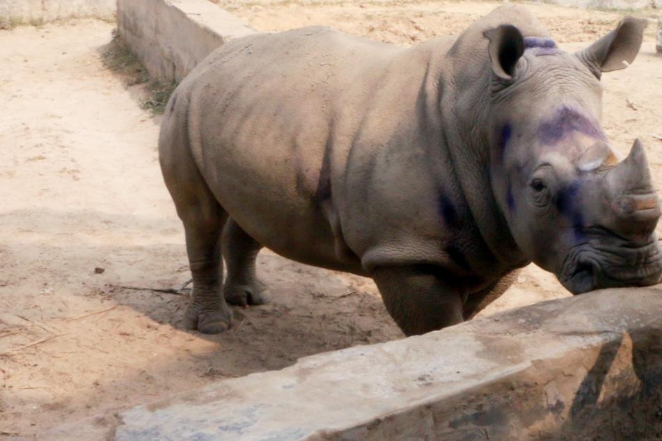 Nashorn-Dame seit Tod ihres Partners deprimiert: Tierpfleger haben geniale Idee