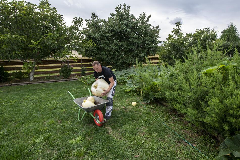 Kay Drechsler (44) hilft dieses Jahr bei der Ernte im Garten der Super-Früchte.