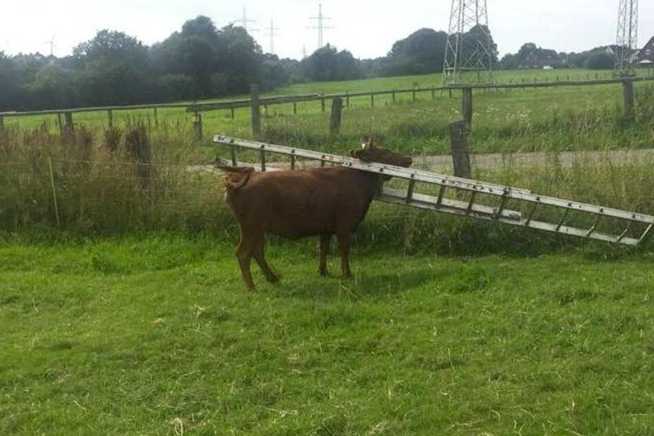 Die Leiter um den Hals der Kuh ließ sich nicht abschütteln.