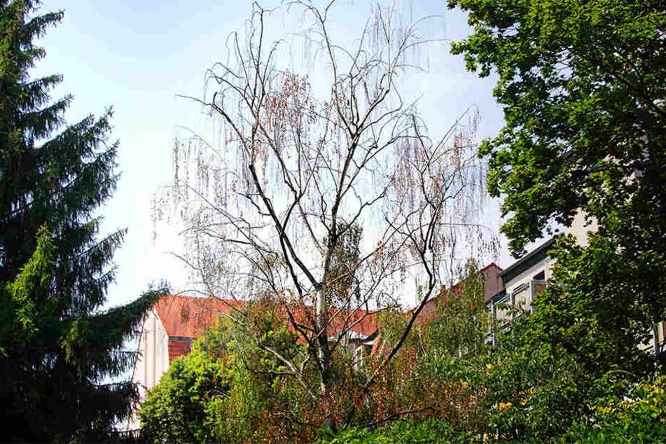 Oje, ein trauriges Bild an der Dresdner Glacisstraße: Hoffentlich kommt diese Birke durch den Sommer.