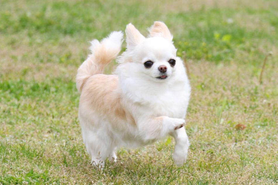 Ein Chihuahua entkam nur knapp dem Tod, als sich ein Greifvogel auf ihn stürzte. (Symbolbild)