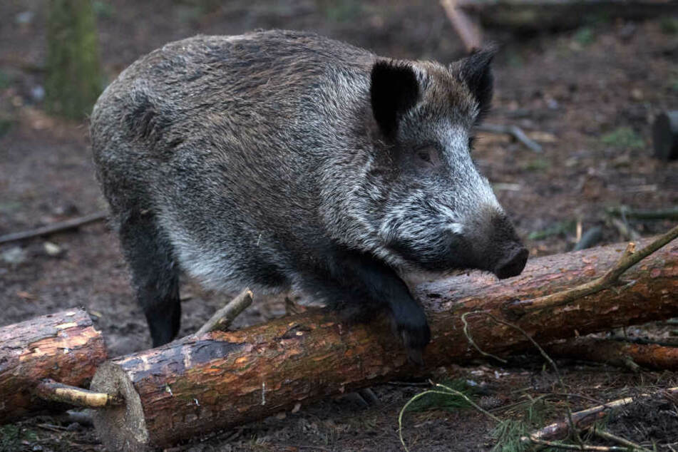 Eigentlich herrscht derzeit Schonzeit für die Wildtiere. (Symbolbild)