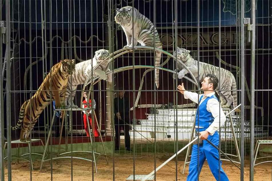 Gelbe und weiße Tiger im Zirkus Voyage: Tierschützer fordern ein Ende der Vorstellung.