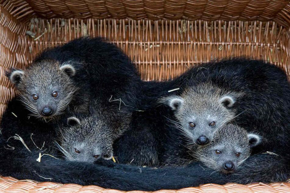 Im Tierpark Berlin haben im Juli vier kleine Binturongs das Licht der Welt erblickt.