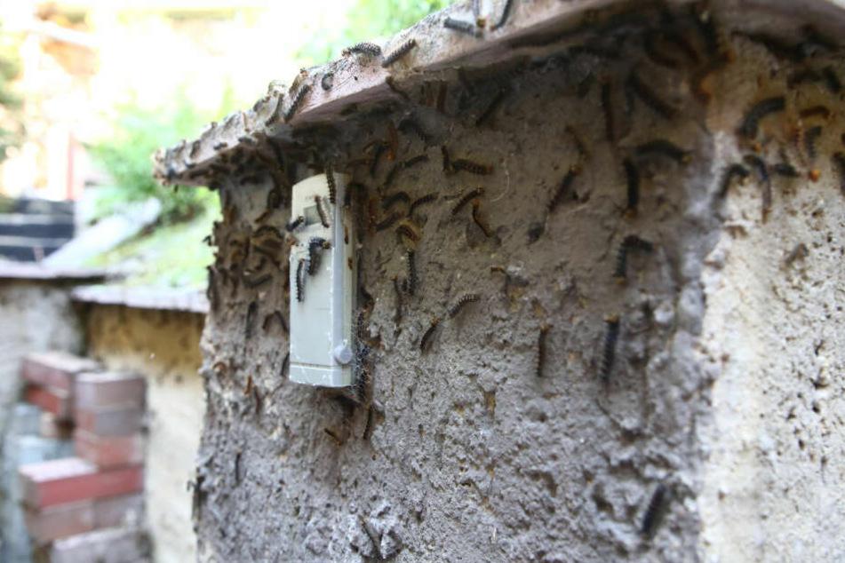 Die Raupen werden eigentlich an Bäumen abgelegt, machten sich von dort aus auf den Weg nach Gera.