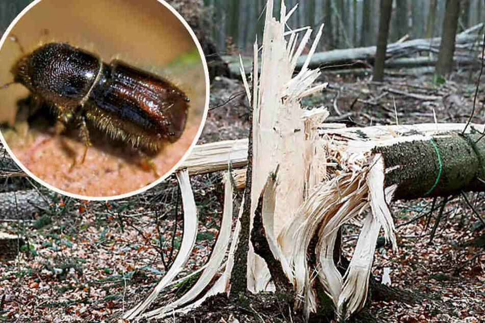 TU-Experte sicher: Schlimmste Käfer-Plage seit dem Krieg
