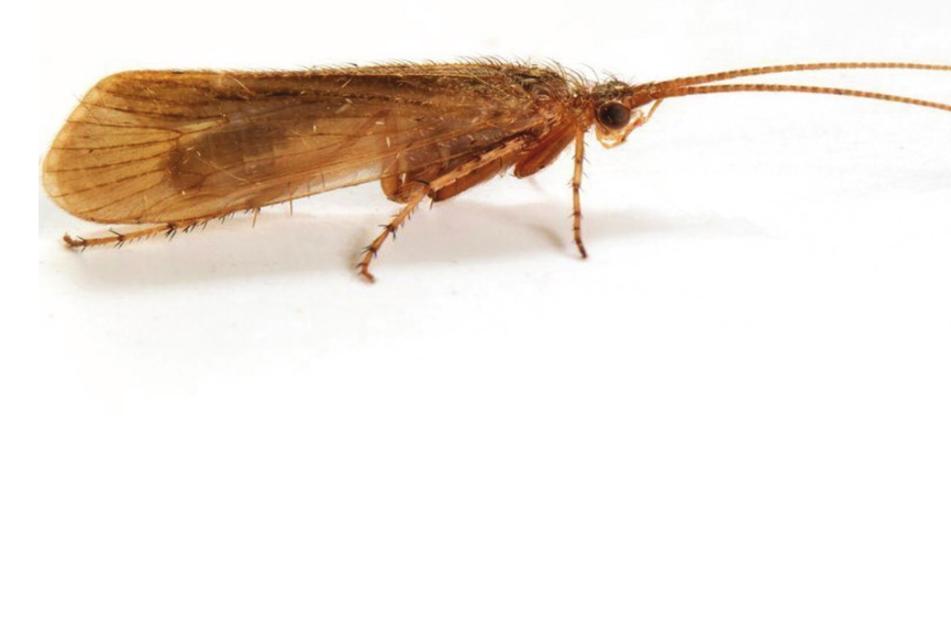 Insekt gilt als ausgestorben, dann taucht es plötzlich wieder auf